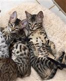 Savannah mačići