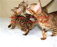 Domaći treneri Bengal mačića za prodaju.