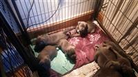 Pedigre Stadfordshire štene