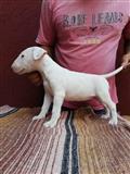 Bull terrier štenad šampionskog porekla