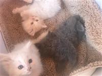Persijski macici