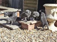 Štuceri Bull Terrier Staffordshire