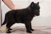 Na prodaju kvalitetna štenad Belgijskog ovčara Gro