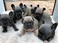 Kvalitetni francuski buldog pups