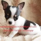 Kc Registrirani pas Chihuahua