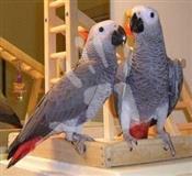 Afrički sivi papagaji.