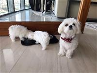 3 Malteška štenca spremna za svoj dom zauvijek Ima