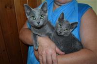 Rodoslovni ruski mačići