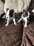 Lovely Boston Terrier Pups kontaktirajte me preko