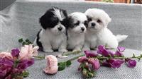 Lijepi malteški štenci su dostupni sada