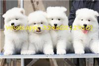 6 Beautiful Healthy Samoyed štenaca