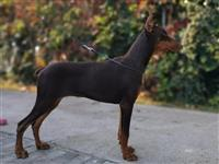 Doberman mlad pas