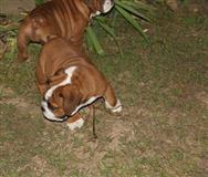 Cuccioli di Bulldog Inglese
