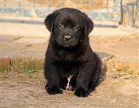 Labradori