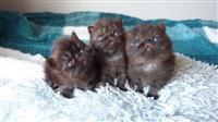 Registrirani perzijski mačići