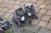 Сини француски булдог кученца