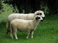 Sjeničke ovce i jagnjad