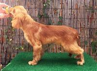 Kavalijer King Carles spanijel štenci na prodaju