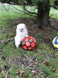 lijepa Pomeranian Puppies