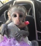 Kapucinski majmuni