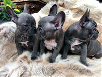 Francuski štenci