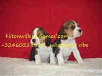 Prekrasni Beagle Pups * spremni odmah *