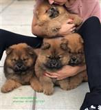 Lijepa Chow Chow štenci spremni