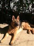 Pas čuvar-Nemački ovčar