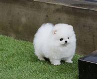 Bezvrijedan bijeli pomeranski štene za usvajanje
