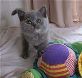 Britanski kratkovidni mačići