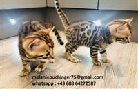 Bengalski mačići