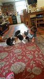 Beagle štenci za prodaju