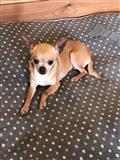 Kc Registrovani Chihuahua Pas