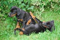 Lijepe dobermanke štenci