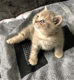 Plavi britanski kratkodlaki mačići kontaktirajte m