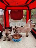 Prekrasni sijamski mačići