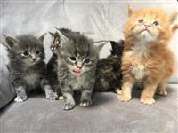 Lijep izgled Pedigree Maine Coon mačići Mačići su