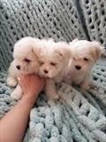 lijepi malteški štenad