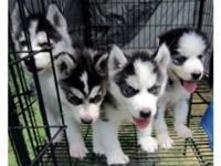 Slatki sibirski haski štenci za usvajanje