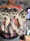 Na prodaju registrirani štenad sibirskih haskija