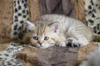 Scottish shorthair mace