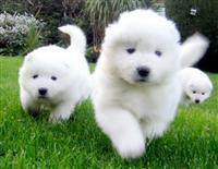 Lijepi zdravi samojedni štenad